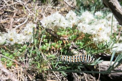Albania Kukes Gjallica caterpillar