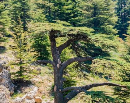Lebanon cedar tree