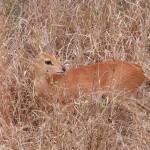 Baby bushbuck impala klipspringer animal