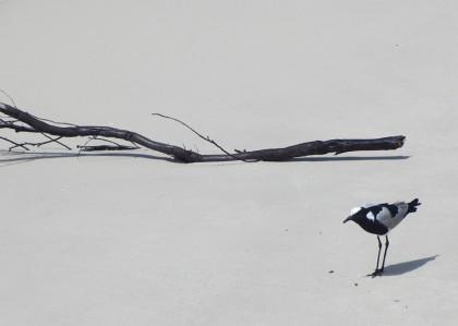 Bird on Boulders Beach, South Africa
