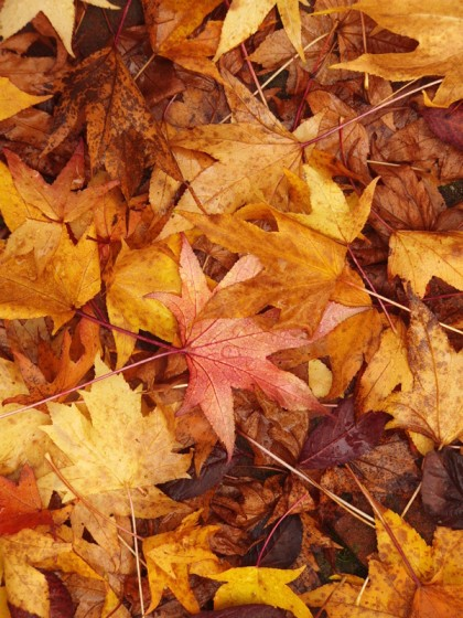 Brown yellow leaves