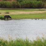 Buffalo and birds drinking from water hole - Kruger Park