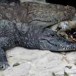 Copenhagen zoo: alligator