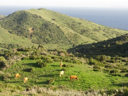 Cows in Tarifa landscape