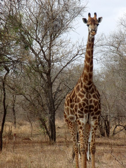 Curious giraffe looking at me in Marloth Park