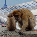 Barbary Macaques monkeys Gibraltar