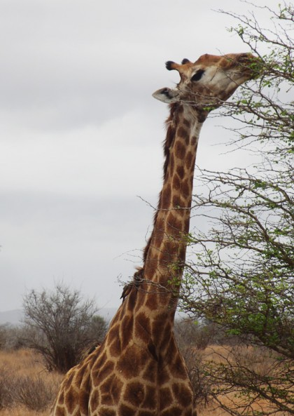 Giraffe eating leaves from tree