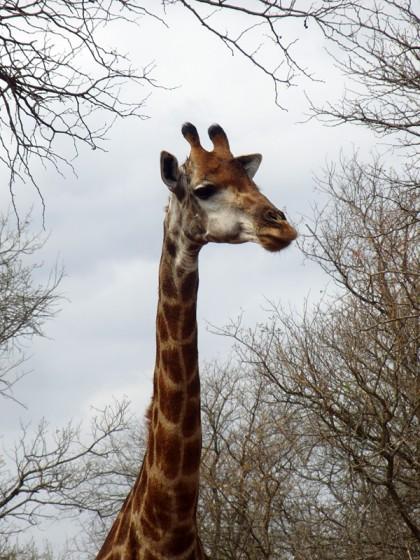 Giraffe head with tree frame