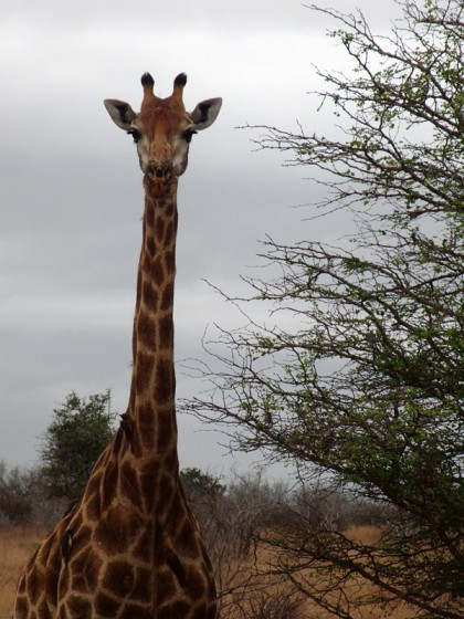 Wild giraffe looking at the camera