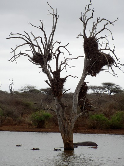 Hippos in water under tree