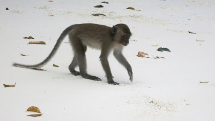 Ko Phi Phi monkey beach