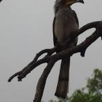 Kruger Park bird with bended nose