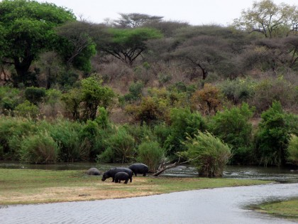 Kruger Park - hippos on land