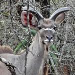 Kudu - Marloth Park
