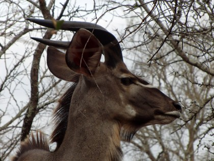 Kudu profile (Marloth Park)