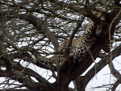 Leopard up in tree - Kruger Park