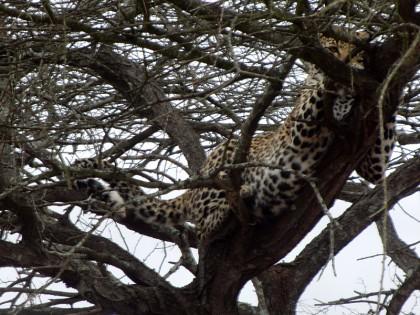 Leopard up in tree - Kruger Park