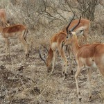 Male antelopes in Kruger Park