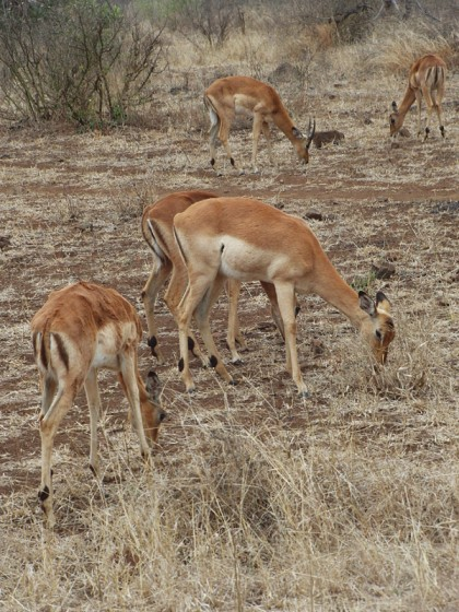 Male antelopes eating