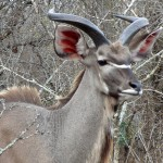 Kudu in Marloth Park