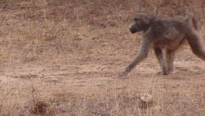 Baboon walking on trail
