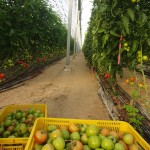 Moshav tomato farm