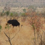 Ostridge in Kruger Park