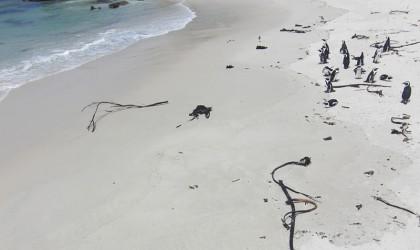 Penguins on Boulders Beach Simons Town