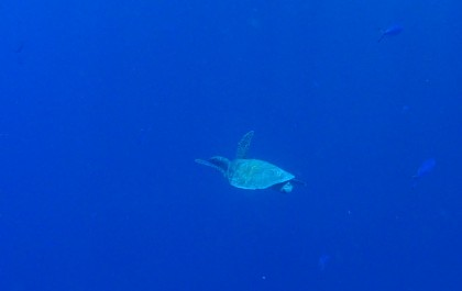 Ras Muhammad swimming turtle