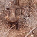 Warthog staring from close distance