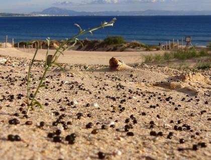 Seeds in sand dunes, Tarifa (macro low shot)