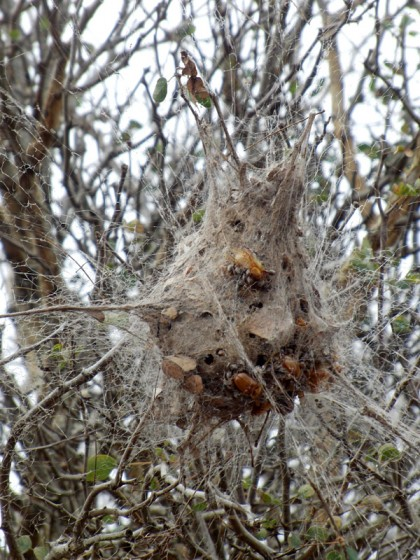 Spiders living together in community nest