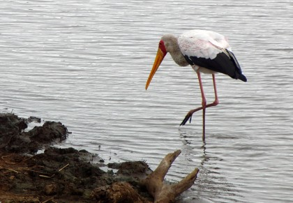 Stork walking searching for fish