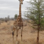 Tall giraffe next to tree