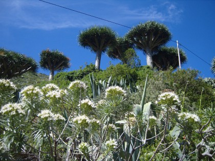 Tenerife flowers and trees