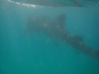 Whale shark in Tofo, Mozambique