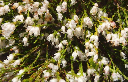 White bells flower on mountain