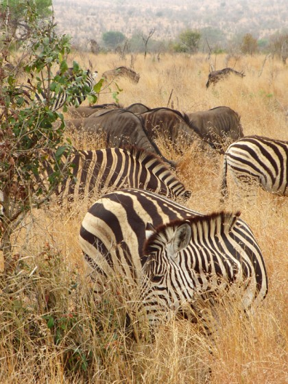Wildebeests & zebras on savanna