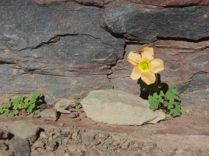 Yellow flower living on mountain rock