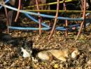 Bulgaria - Sofia: dogs in sun