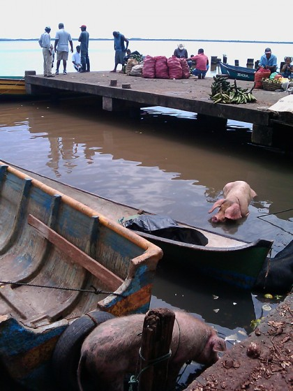 Bluefields, Nicaragua: harbor with pigs