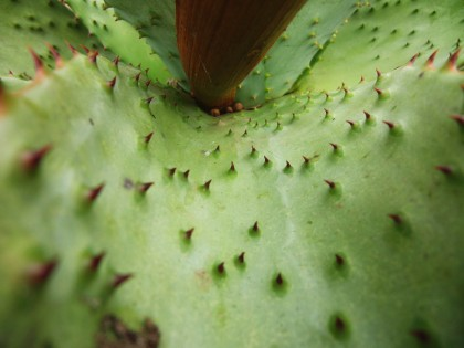 Aloe Vera cactus from inside, with torns