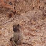 Baboon sitting with impala antelopes