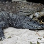 Copenhagen zoo: alligator