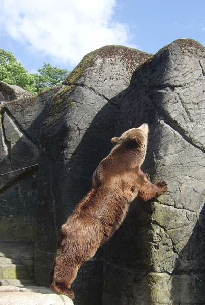 Copenhagen zoo: bear