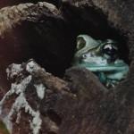 Copenhagen zoo: funny frog face