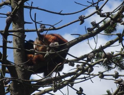 Copenhagen zoo: red coala