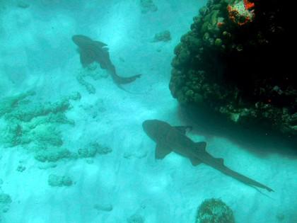Corn Island: Nurse sharks