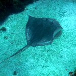 Corn Island: stingray