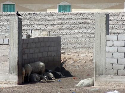 Egyptian goats